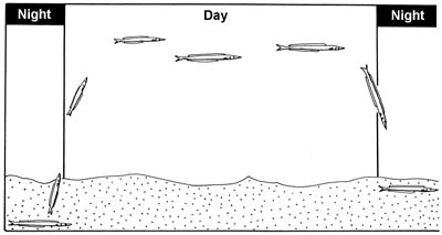 10. Daily activity pattern of the lesser sand-eel. These 'eels' are day active when there is food (plankton) in the water and at dawn they poke their heads out of the sand.