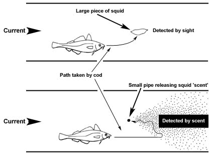 16. Experiment to show how the cod detects its food using both sight and 'smell'.