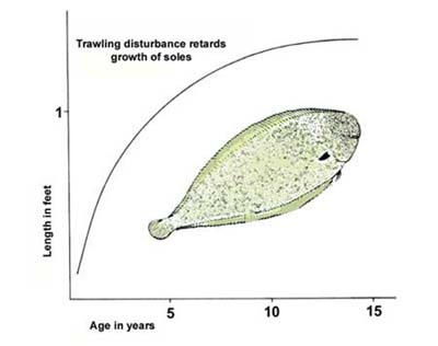 Growth of the common sole (aged by otoliths).