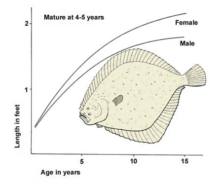 Growth of the turbot (aged by otoliths).