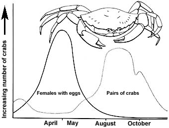 9. Breeding of the shore-crab. Crabs moult most frequently in the warmer months but pairs of crabs (with peeling or soft females) are found in late summer. Eggs are mostly laid in April-May.