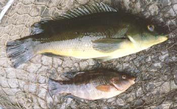 Corkwing (lower) and ballan wrasse.  Fish lice are visible on the skin of the larger fish. (click on picture to enlarge.)